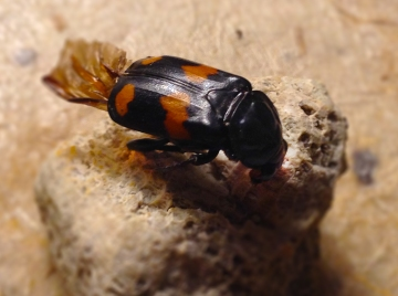Probably Nicrophorus orbicollis, possibly vespilloides.